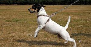 cane-che-tira-al-guinzaglio1