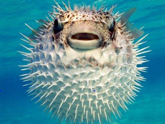 Il pesce palla.