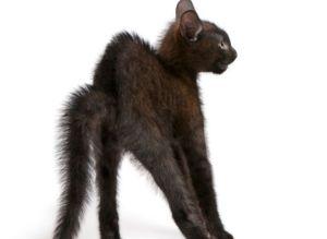gatto-con-pelo-dritto-e-schina-arcuata